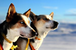 Dogsledding - Blaast film